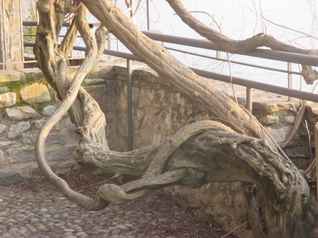 Santa Caterina - Il glicine