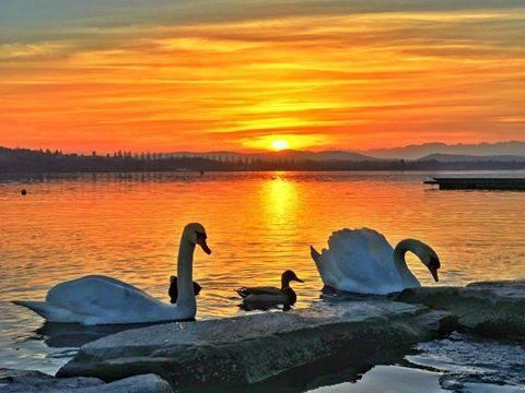 Cigni al tramonto a Schiranna