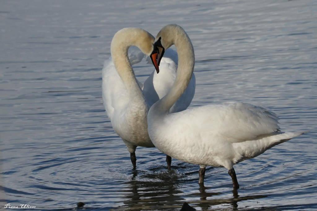 cigni cuore san valentino