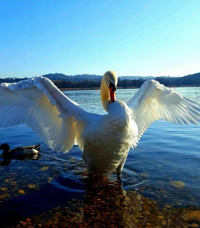 Il cigno - foto di Cinzia Marangon