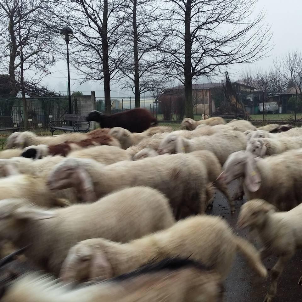 Pecore a Zonzo a Lonate Ceppino