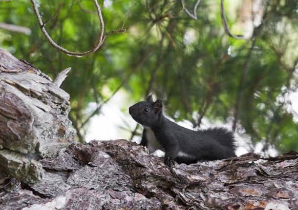 scoiattolo nero