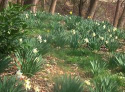Arcisate, boschi in fiore - foto di Antonio Mandile
