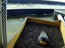 falco pellegrino milano