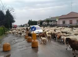 Pecore a Busto Arsizio - foto di Luisa Pisoni