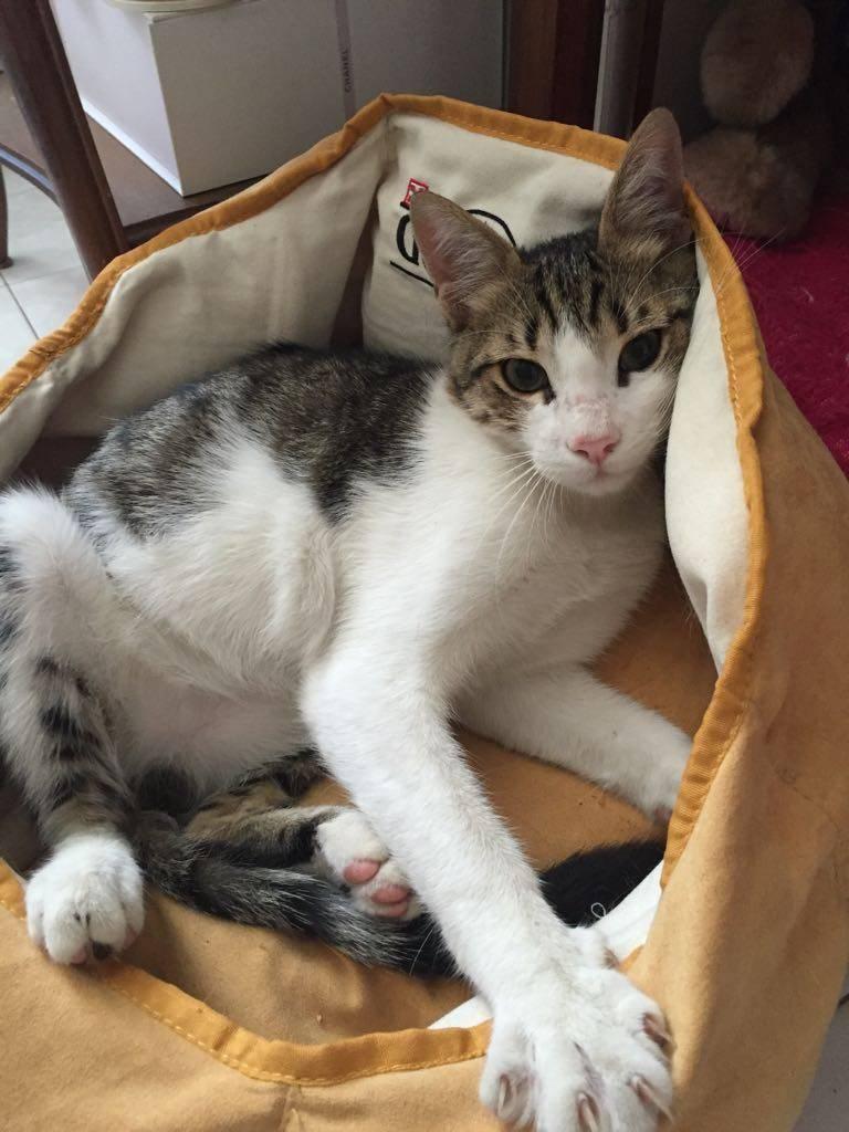 Gatto scomparso a Solbiate