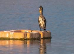 Il cormorano - foto di Isella Bellotti