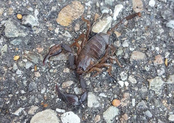 Scorpione in Valceresio - foto di Pietro Ganna