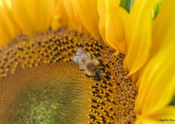Girasole, il fiore dell'estate