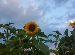 girasoli temporale estate casciago