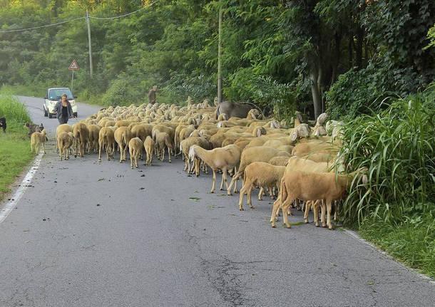 Roma, idea della giunta Raggi: capre come tosaerba nei parchi