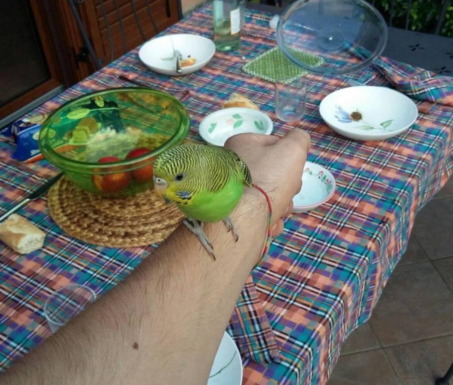 trovato pappagallino