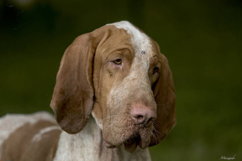 Esposizione canina a Laveno Mombello