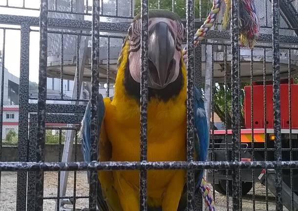 Scappa il pappagallo, lo trovano sull'albero
