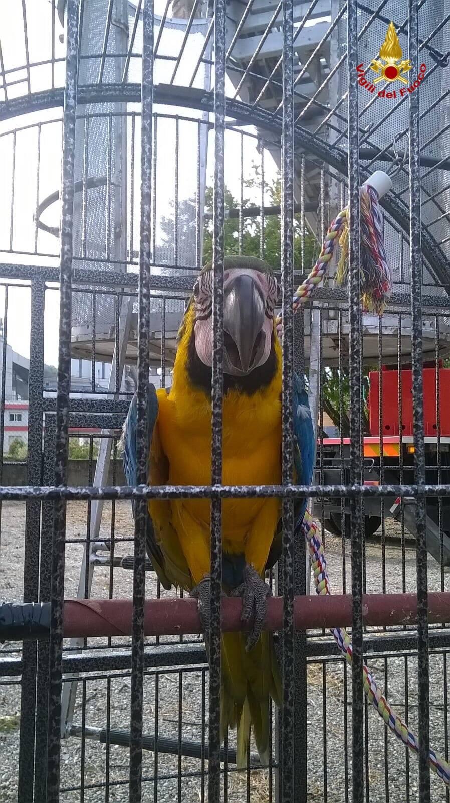 Scappa il pappagallo, lo trovano sull\'albero