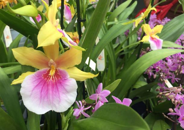Varese orchidea 2017