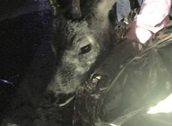 Porto Ceresio capriolo ferito