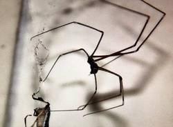 Ragno contro cimice