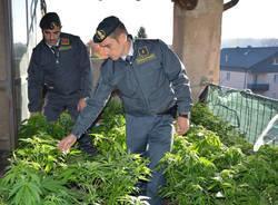 Arcisate - Piantagione di marijuana