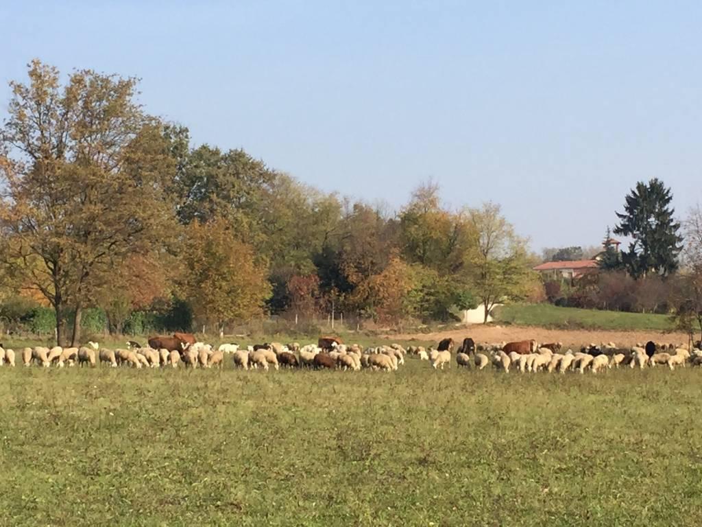 Pecore e vacche, una mandria in città