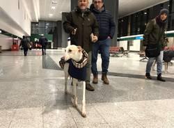 Arrivo levrieri a Malpensa