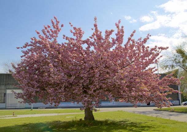 A tu per tu con gli alberi del parco groane for Alberi fioriti da giardino