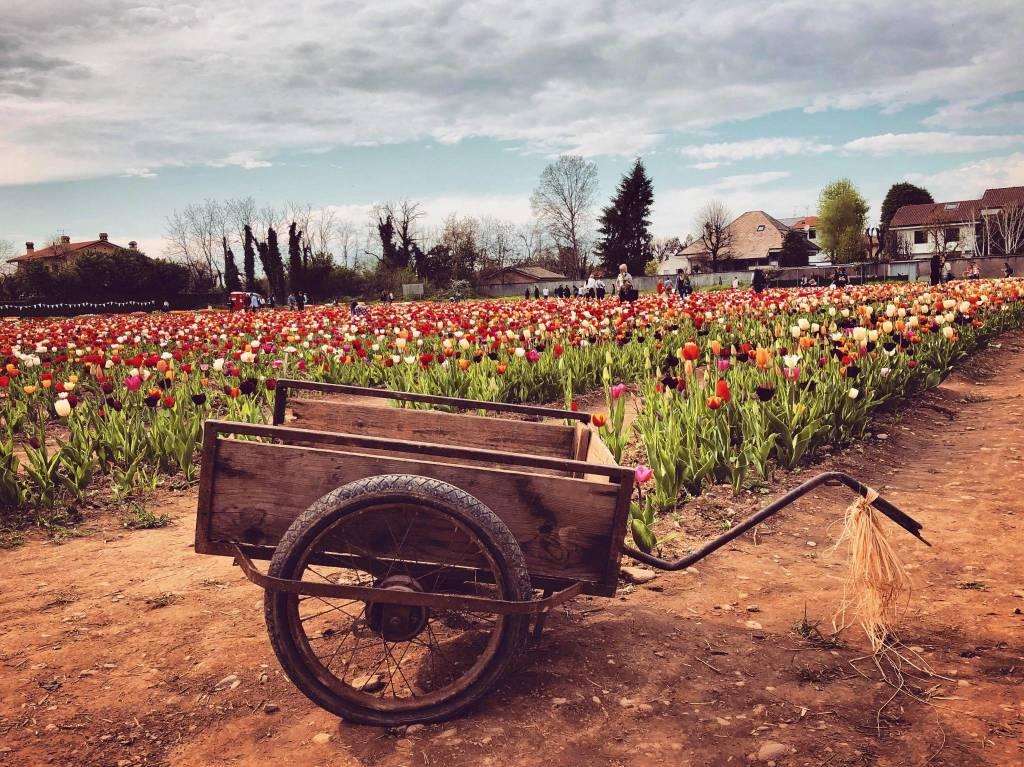 Campo di tulipani a Cornaredo