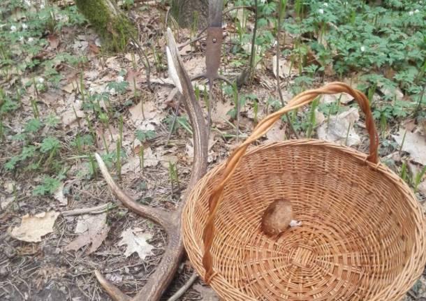 Corno di cervo nel bosco di Castelpeprio