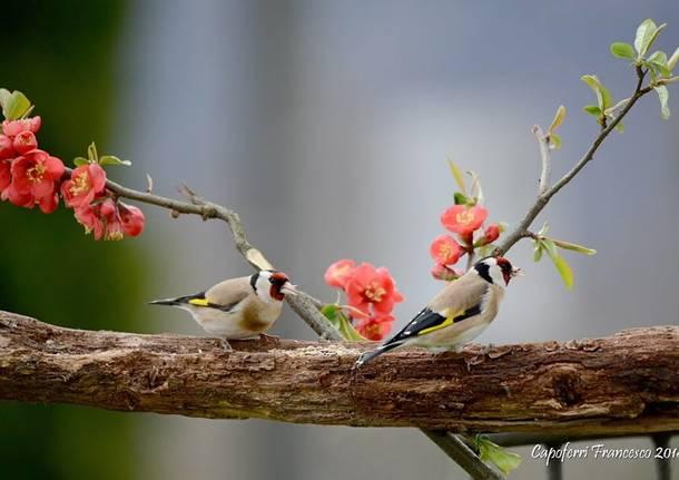 Uccelli da Oggi nel Varesotto