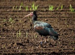 Bisuschio - Ibis eremita