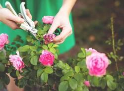 Rose e giardinaggio