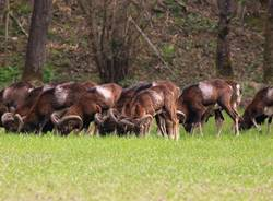 Le mandrie di animali selvatici del Luinese