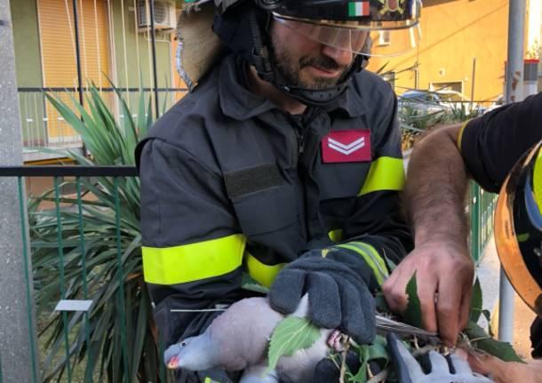 Pompieri salvano piccione bloccato su un albero