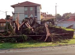 Distrutto il pino di San Rocco
