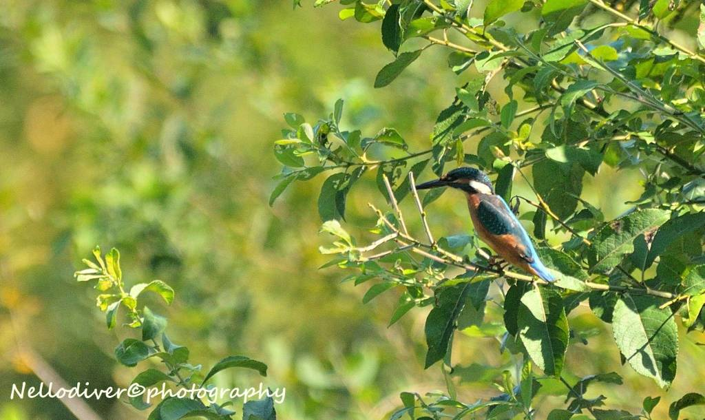 uccello martin pescatore palude brabbia