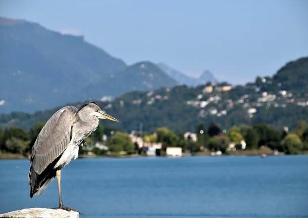 Airone a Lavena Ponte Tresa - foto di Elisabetta Mezzatesta Lucà