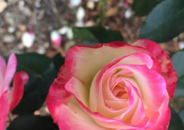 Le rose di Vararo