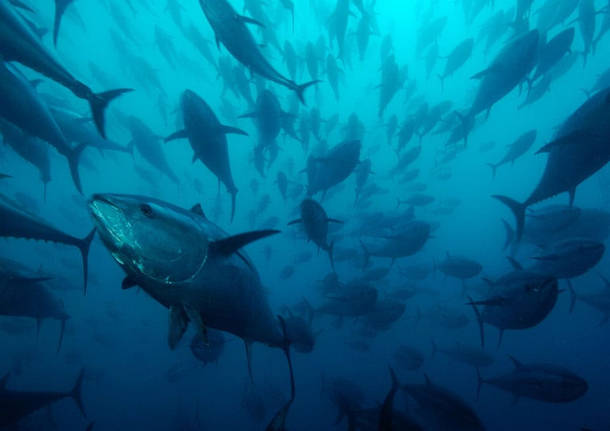 traffico illegale di tonno rosso