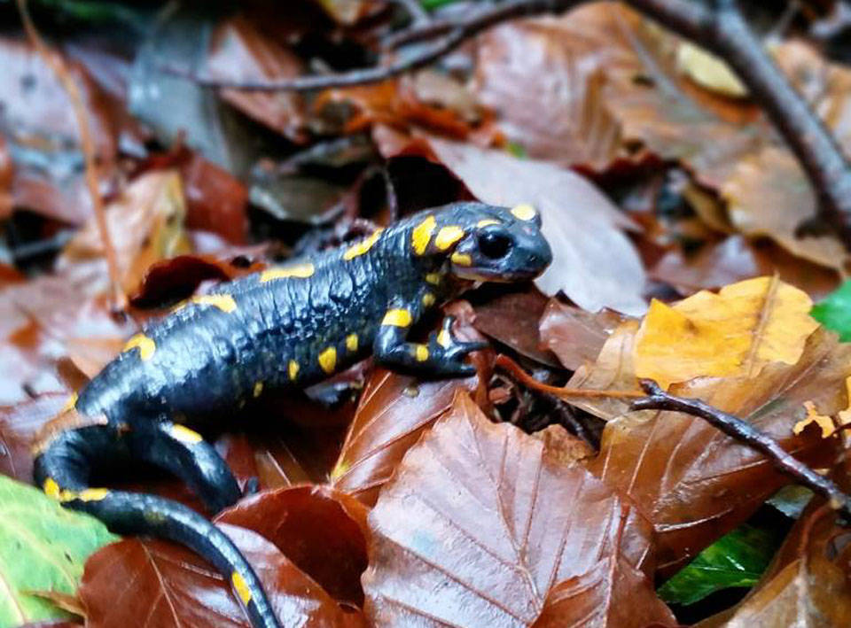 La salamandra - foto di Andrea Betti