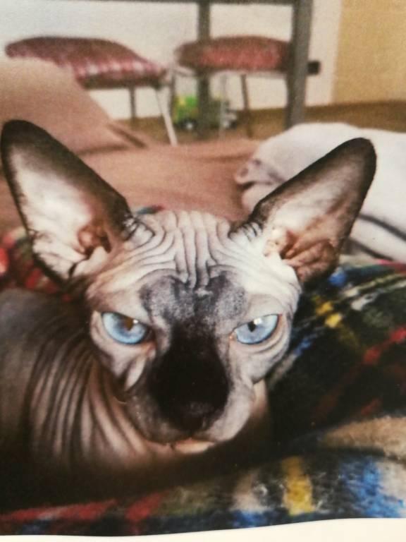 Smarrito gatto nudo