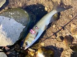 pesce morto arnetta