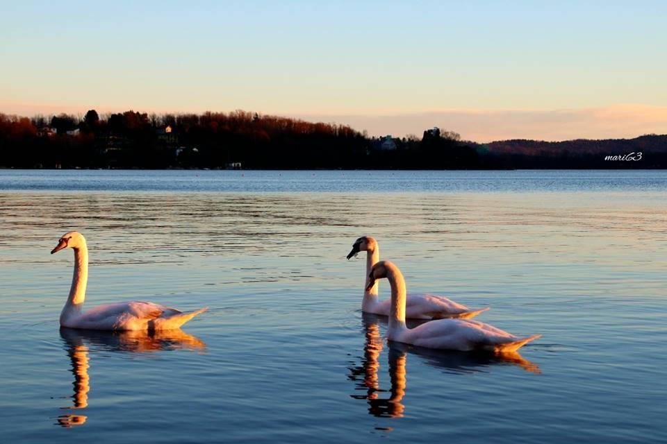 Cigni al tramonto - foto di Mariangela Filini
