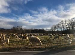 Gregge di pecore a Azzate
