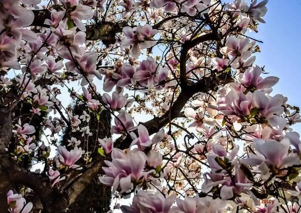Magnolia fa rima con Primavera