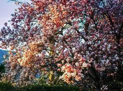 Magnolia - foto di Elena Impe