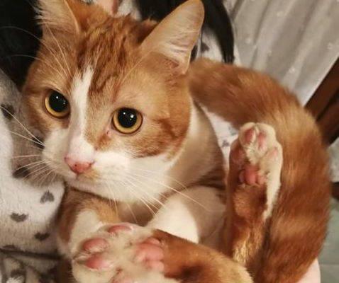 Smarrito gattino a Somma