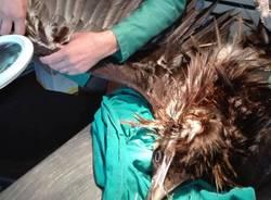 avvoltoio ferito