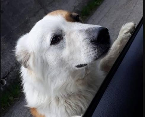 Cane Luino