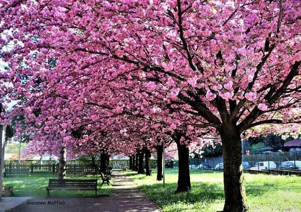 ciliegi fioriti somma lombardo giovanna maffioli