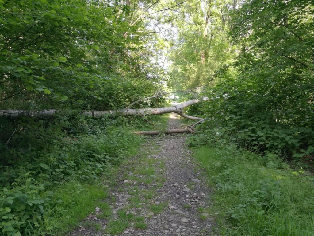Albero abbattuto sul sentiero per il porticciolo di Capolago